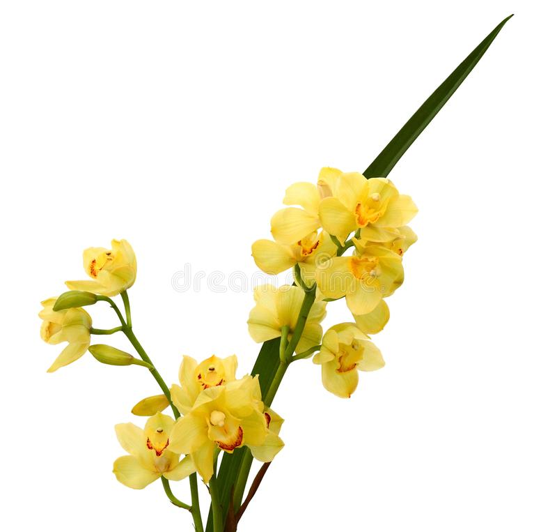 Yellow Phalaenopsis Orchids close up. Yellow Phalaenopsis orchids and buds close-up royalty free stock photo