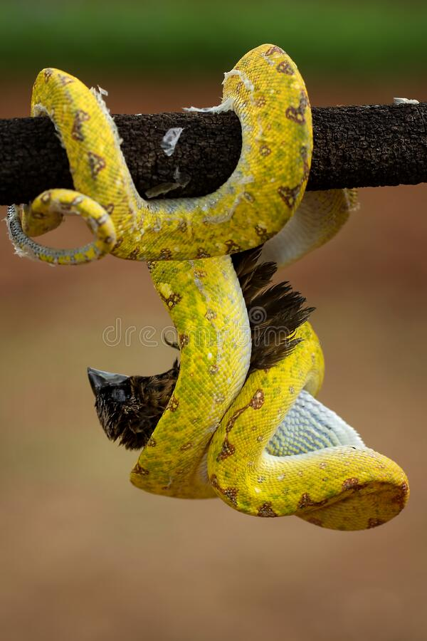 A Yellow Phyton Snake is eating the bird royalty free stock photo