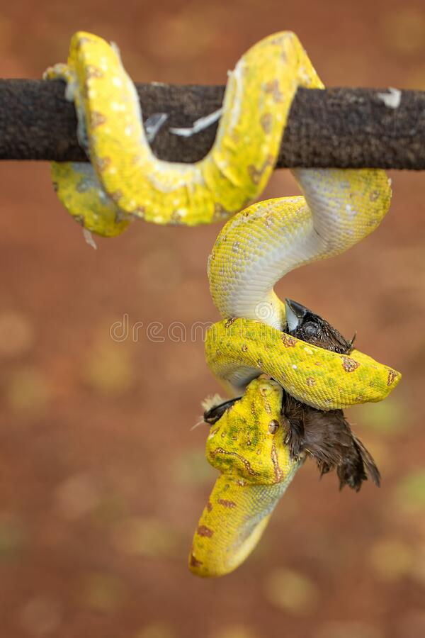 A Yellow Phyton snake is swallowing the bird royalty free stock photos