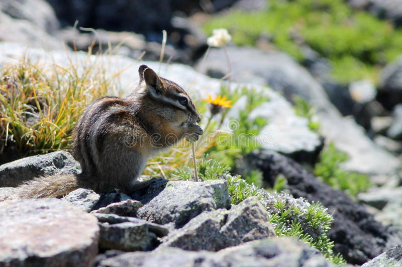 Download Yellow-pine Chipmunk On Mount Rainier Stock Image - Image: 33436965