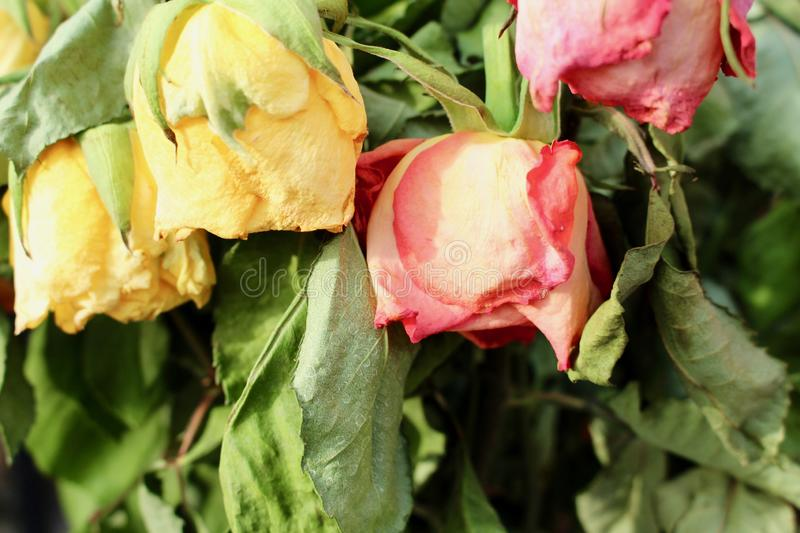 Dead roses in a bunch. stock photos