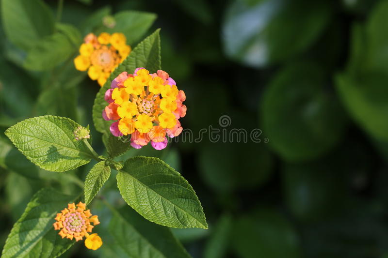 Yellow & Pink FLOWER royalty free stock photo