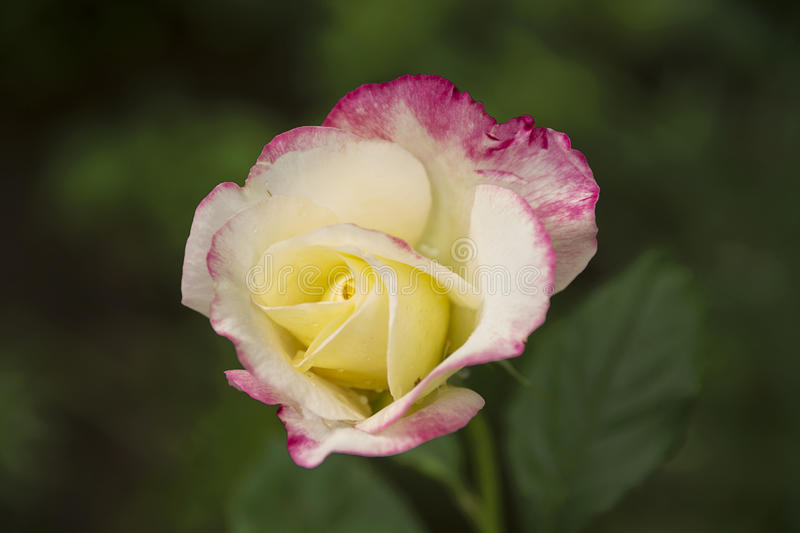 Yellow - pink garden rose royalty free stock photography
