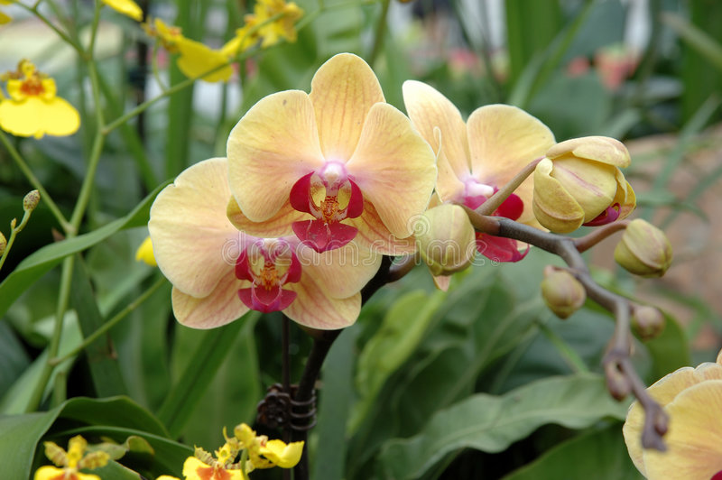 Yellow-pink orchids royalty free stock images