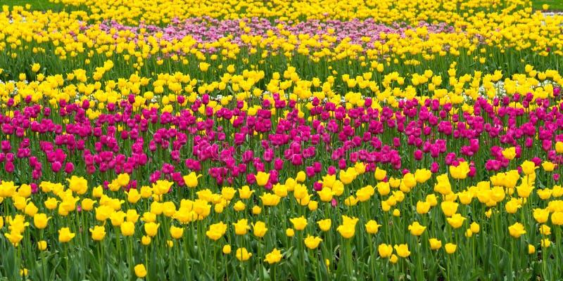 Tulips field, public park or flowers farm stock image