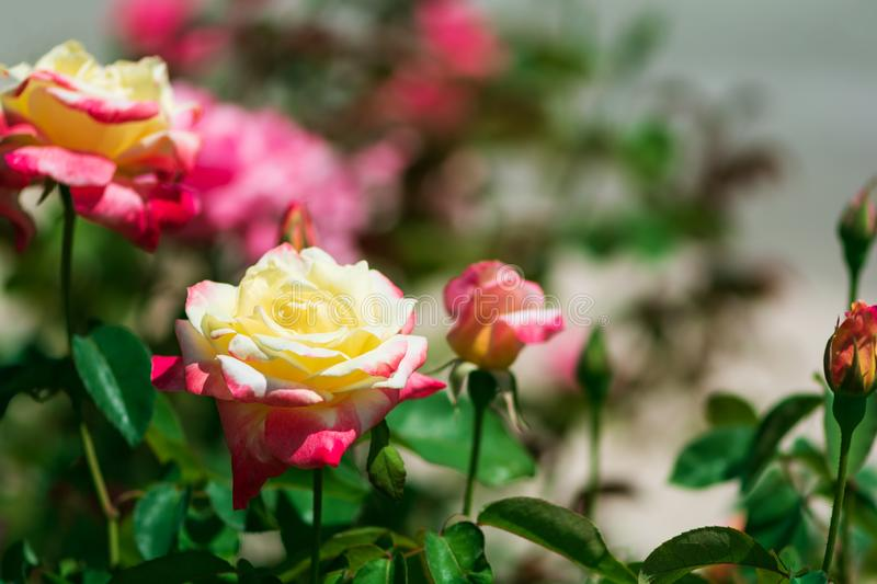 Yellow pink rose flowers with buds against defocused background.  royalty free stock image