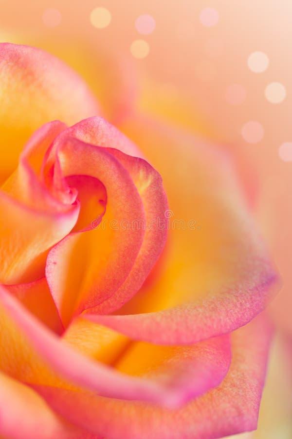 Yellow pink rose stock image
