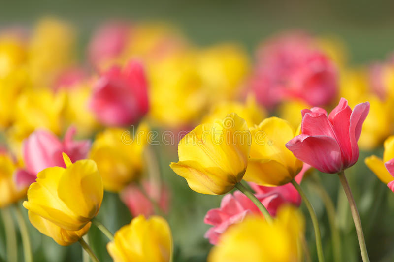 Yellow and pink tulips. Horizontal image of a field of beautiful yellow and pink tulips. Image taken at the tulip festival held yearly at the Ted Ensley Gardens royalty free stock images