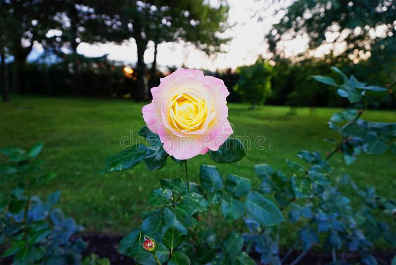 Yellow pinkish flower with green background stock photography