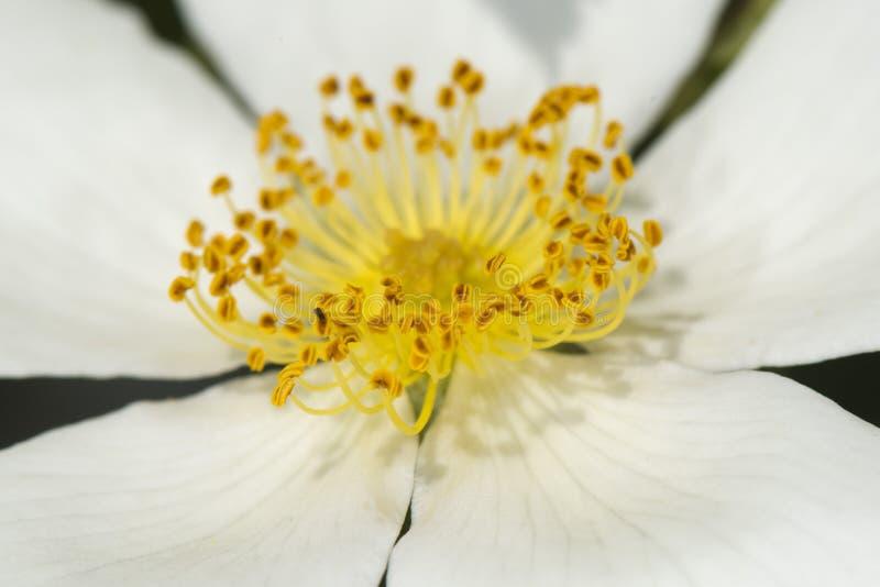 Yellow pistil flower macro royalty free stock photo