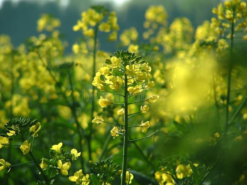 Yellow plant royalty free stock photo