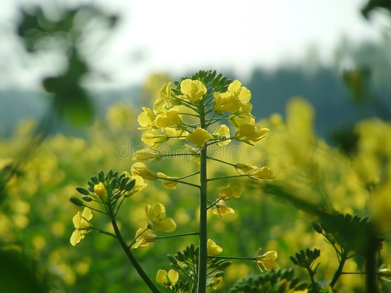 Yellow plant royalty free stock image