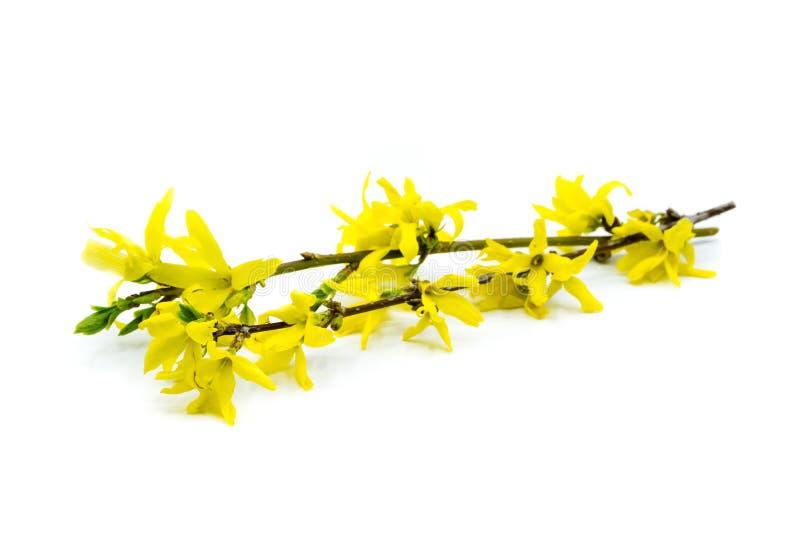 Yellow Plant forsythia on white background royalty free stock image