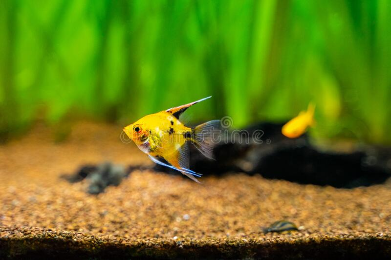 118 Platinum Angelfish Photos Free Royalty Free Stock Photos From Dreamstime