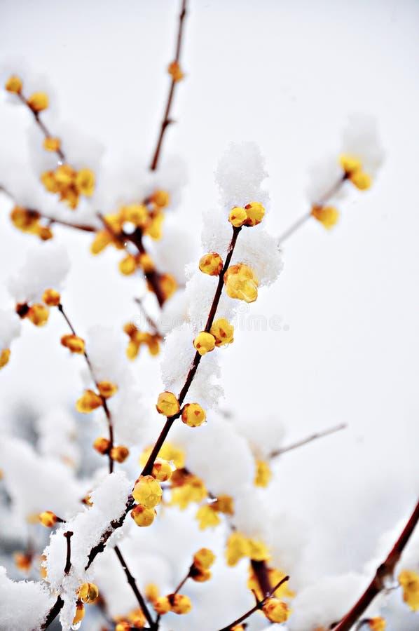 Yellow Plum Flower under Snow royalty free stock photos