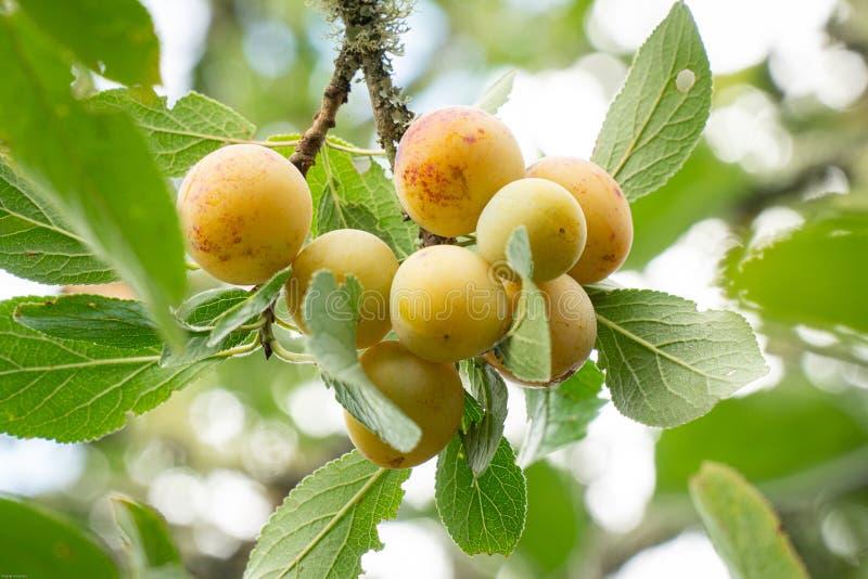 Yellow plum mirabelle fruit growing on tree. Prunus domestica. On outdoor stock image
