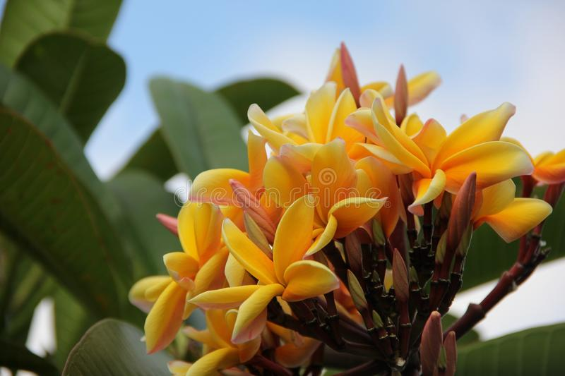 Yellow Plumeria. The blooms of a Yellow Plumeria or Frangipani tree on the island of Tahiti, French Polynesia stock photo