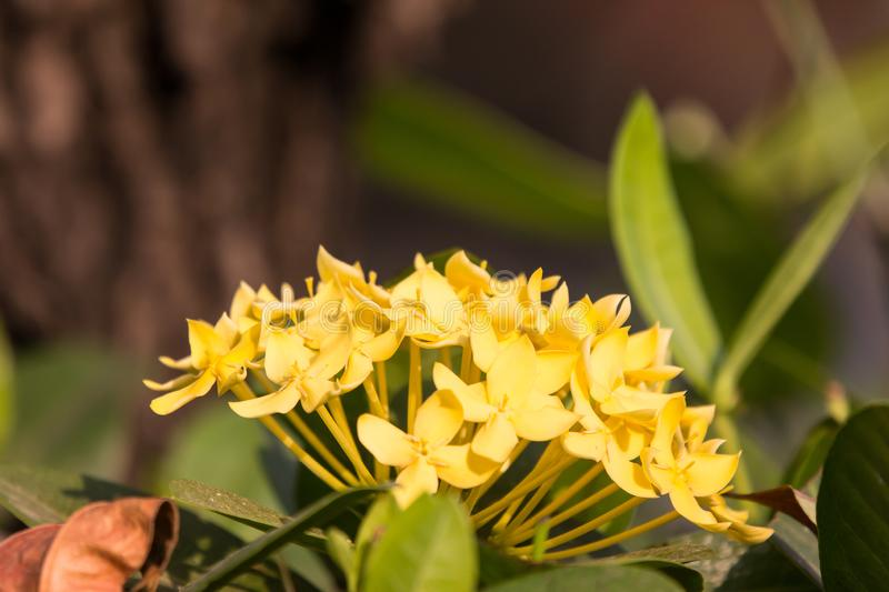 Yellow  Plumeria flower stock photography