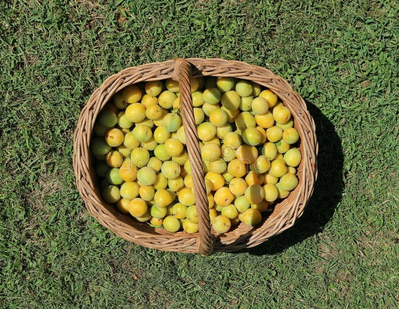 Yellow plums freshly picked in a wicker basket on the grass stock photo