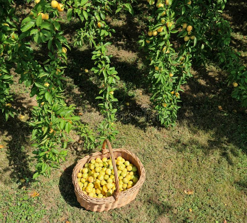 Yellow plums in a wicker basket on the grass under the branches of the tree from which they have been picked royalty free stock image