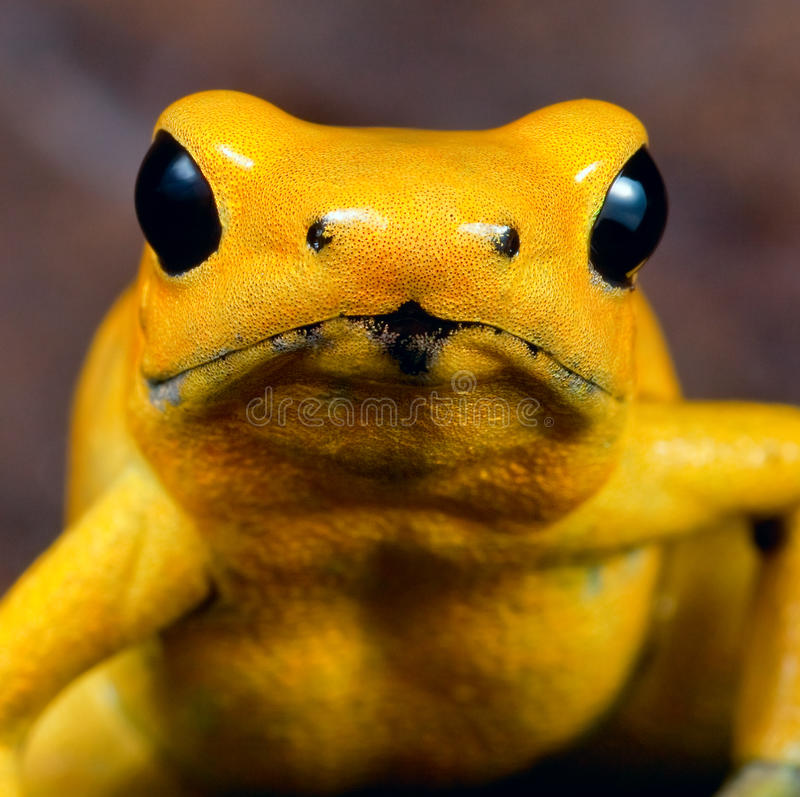 Download Yellow Poison Dart Frog Poisonous Animal Stock Photo - Image: 21892150
