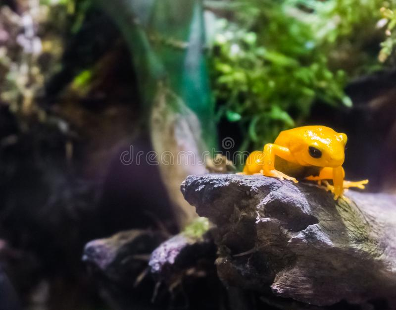 Yellow poison dart frog sitting on a branch very dangerous poisonous small tiny amphibian from america. A Yellow poison dart frog sitting on a branch very stock photos