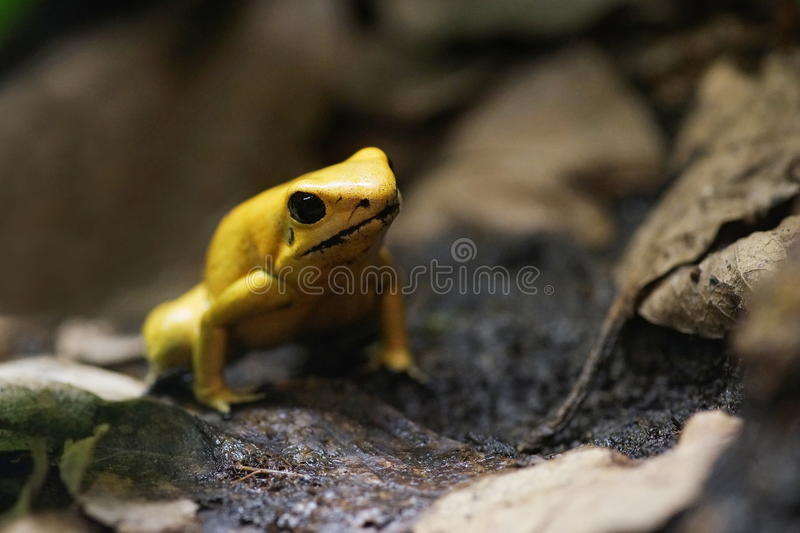 Yellow poison frog. Brown background royalty free stock images