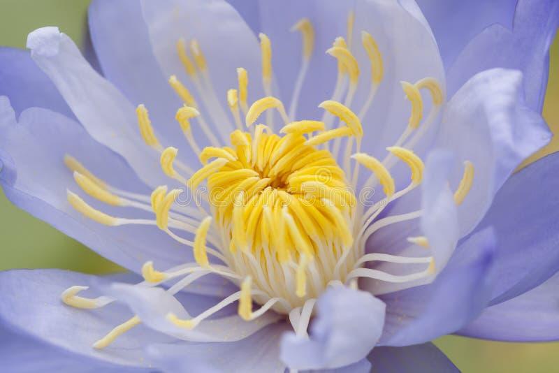 Yellow Pollen Royalty Free Stock Image