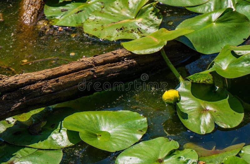 Yellow Pond Liliy fotografia stock