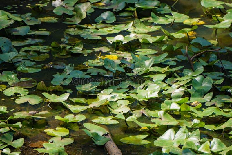Yellow Pond Liliy Pads fotografia royalty free