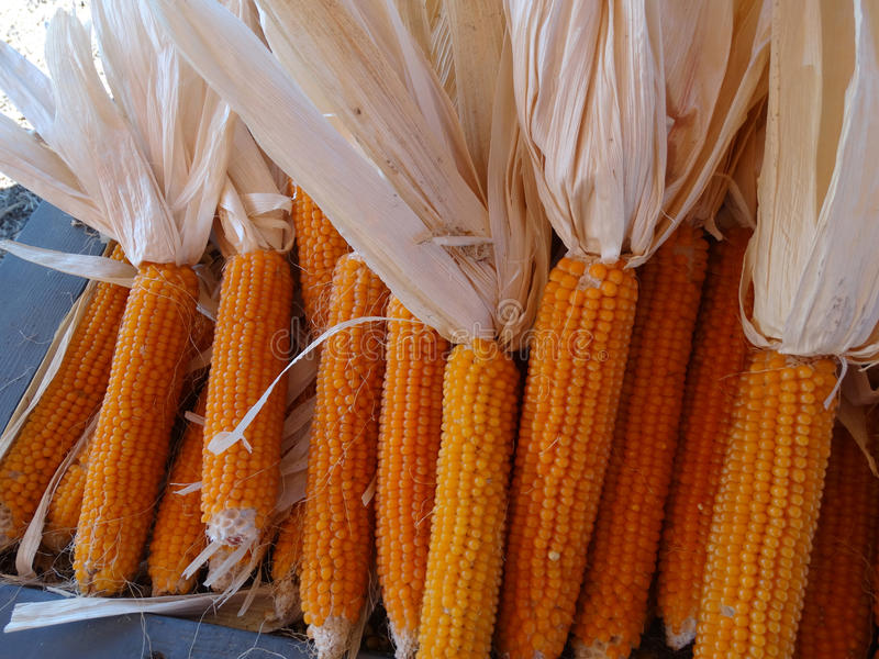 Yellow popcorn, Zea mays. Cereal crop with flat linear leaves and axillary cobs developing yellow grains, used mainly as popcorn, flour for breads or eaten royalty free stock image