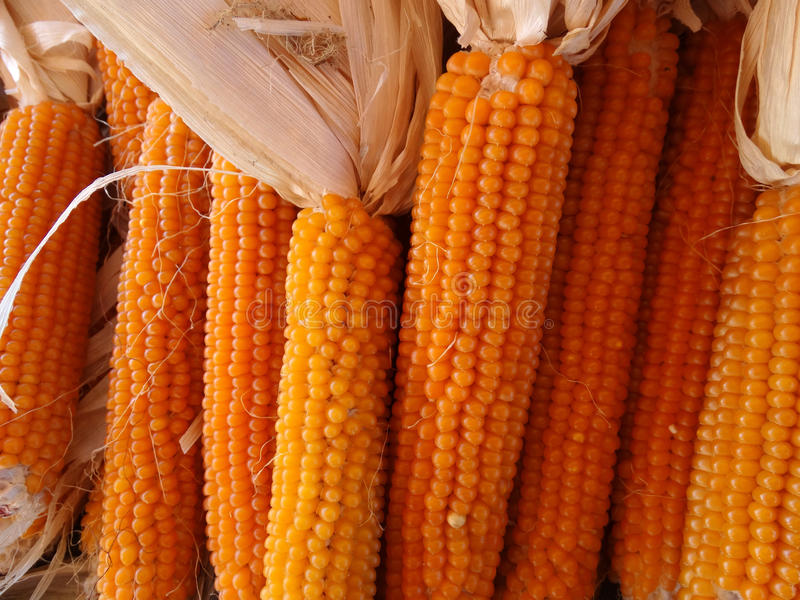 Yellow popcorn, Zea mays. Cereal crop with flat linear leaves and axillary cobs developing yellow grains, used mainly as popcorn, flour for breads or eaten royalty free stock photography