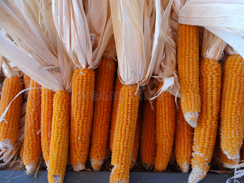 Yellow popcorn, Zea mays. Cereal crop with flat linear leaves and axillary cobs developing yellow grains, used mainly as popcorn, flour for breads or eaten stock images