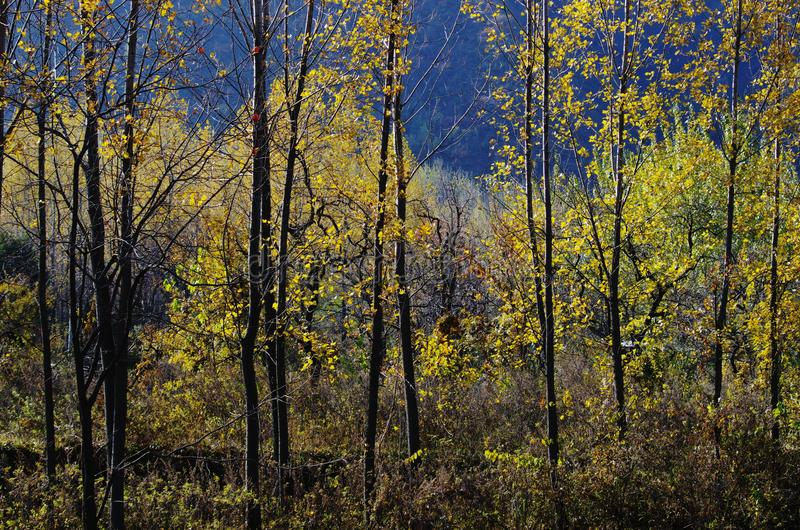 Autumn color of Qinling. Yellow poplar leaves at the North foot of Qinling Mountains in Autumn,Huxian,XiAn,ShhanXi,China royalty free stock photo