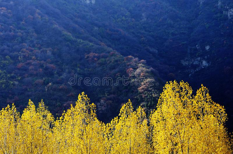 Autumn color of Qinling. Yellow poplar leaves at the North foot of Qinling Mountains in Autumn,Huxian,XiAn,ShhanXi,China royalty free stock image