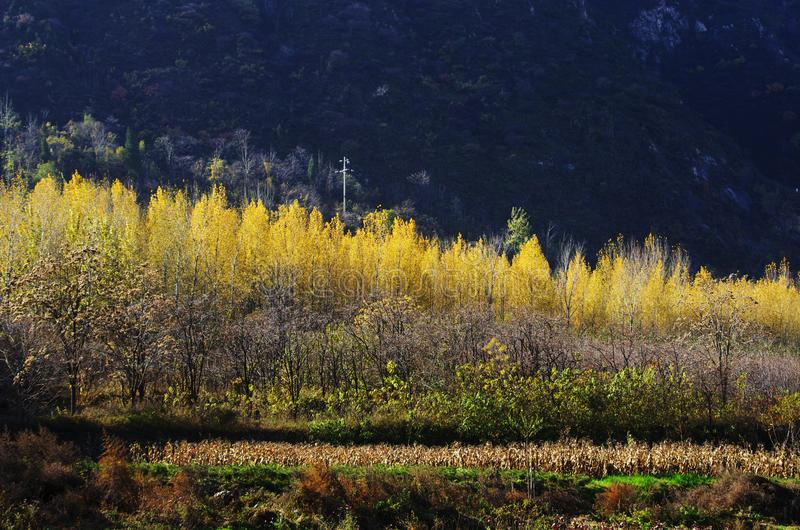 Autumn color of Qinling. Yellow poplar leaves at the North foot of Qinling Mountains in Autumn,Huxian, XiAn, ShhanXi, China stock image