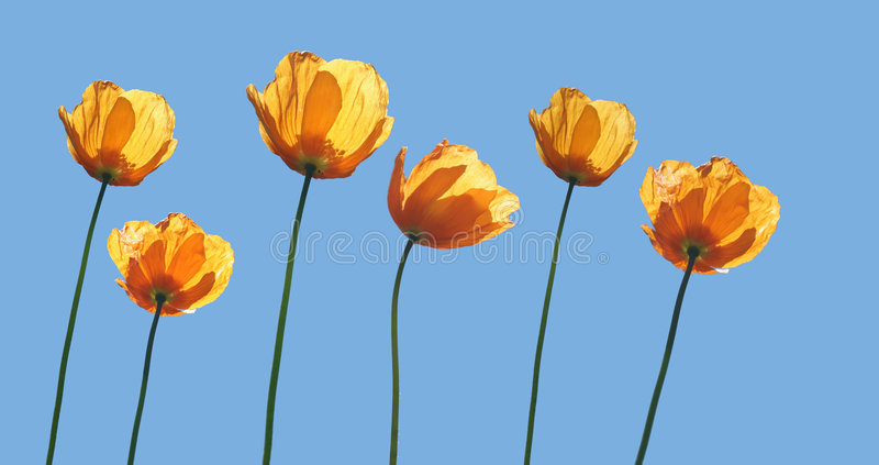Yellow poppies stock images