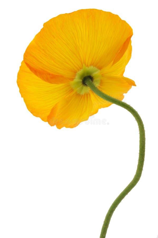 Yellow poppy backside isolated on white stock image image of download yellow poppy backside isolated on white stock image image of studio fragile mightylinksfo Choice Image