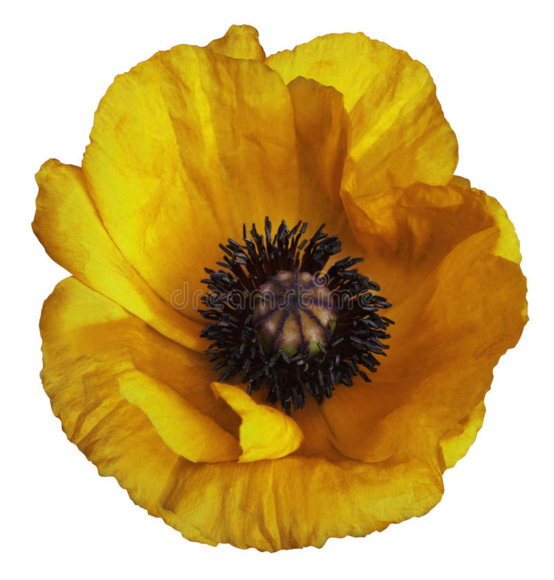 Yellow poppy flower on a white isolated background with clipping path. Closeup. no shadows. For design. royalty free stock photography