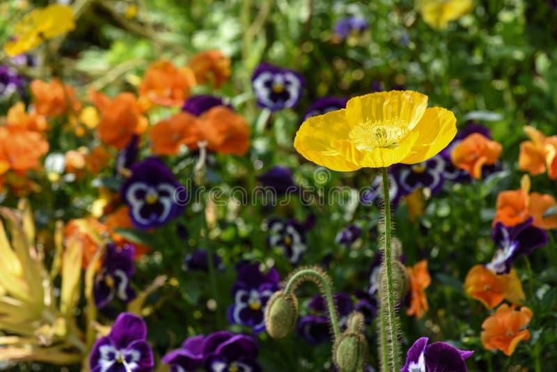 Yellow poppy in a public garden royalty free stock image