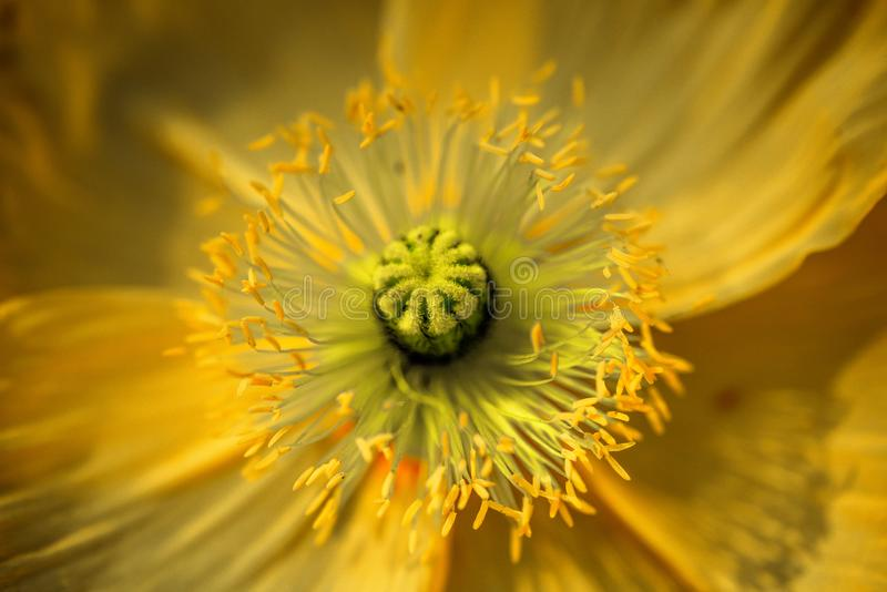 Yellow poppy in a public garden royalty free stock photography