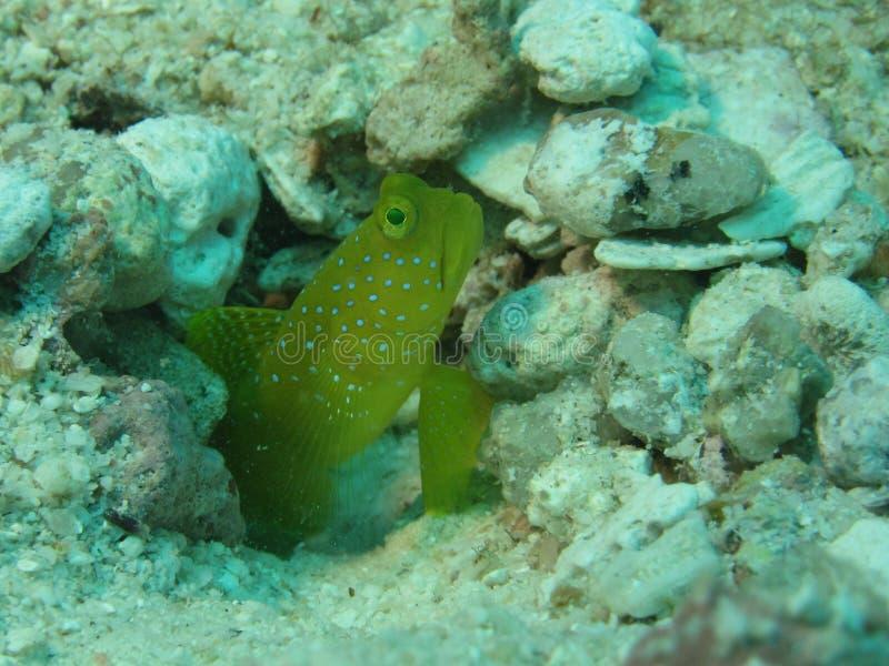 Yellow prawn-goby royalty free stock photos