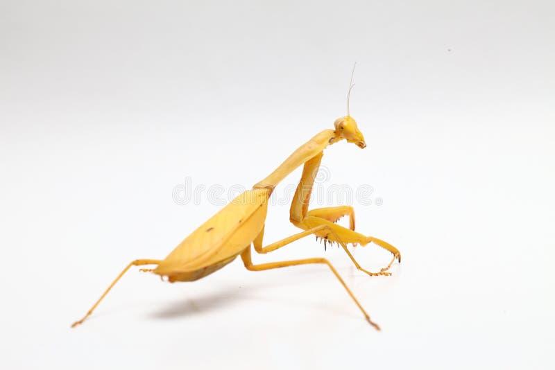 Yellow praying mantis  on white background stock photos