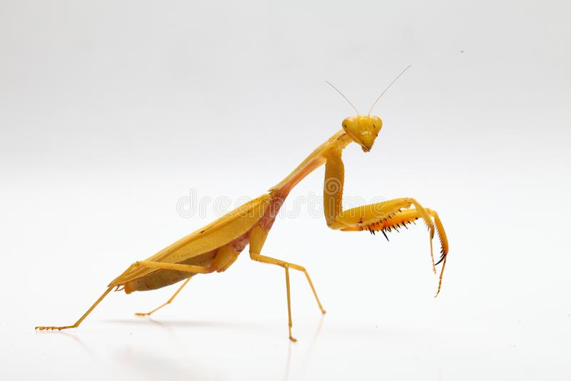 Yellow praying mantis  on white background stock images