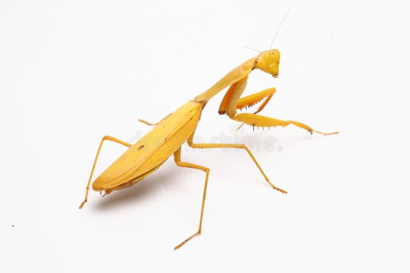 Yellow praying mantis  on white background stock photo