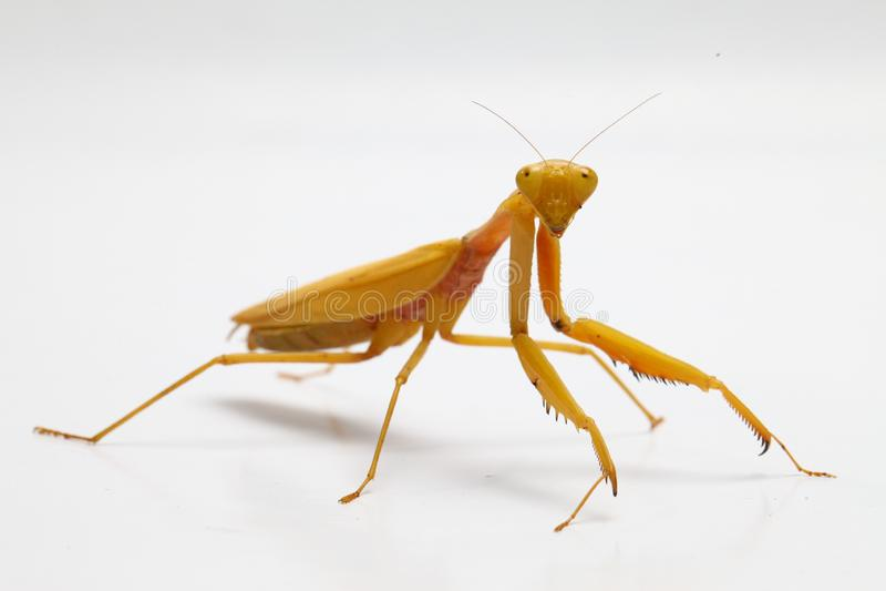 Yellow praying mantis  on white background royalty free stock photo