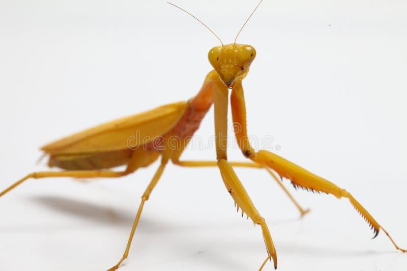 Yellow praying mantis  on white background stock image