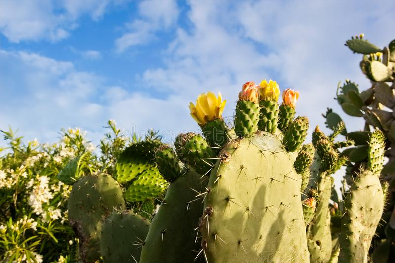 Yellow Prickly Pear Cacti Blossoms. Yellow Prickly Pear Cacti Blossoms royalty free stock images