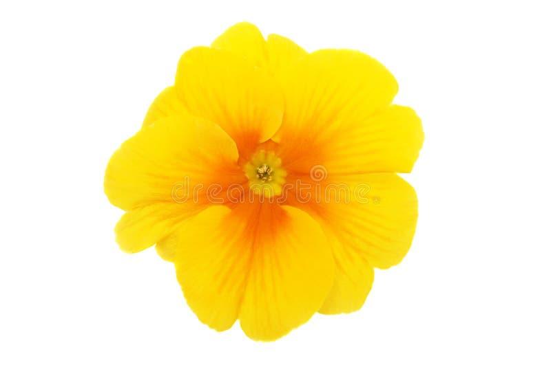 Yellow Primrose Stock Photos