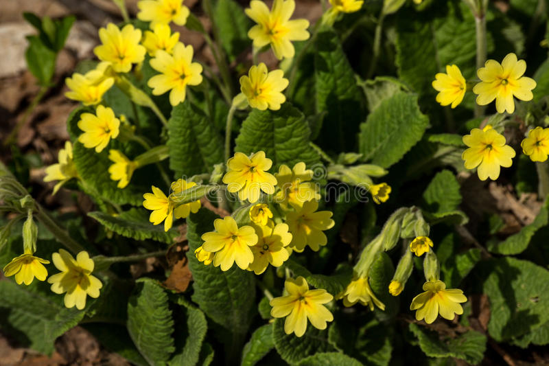 Download Yellow Primrose stock photo. Image of outdoors, appalachain - 41893288